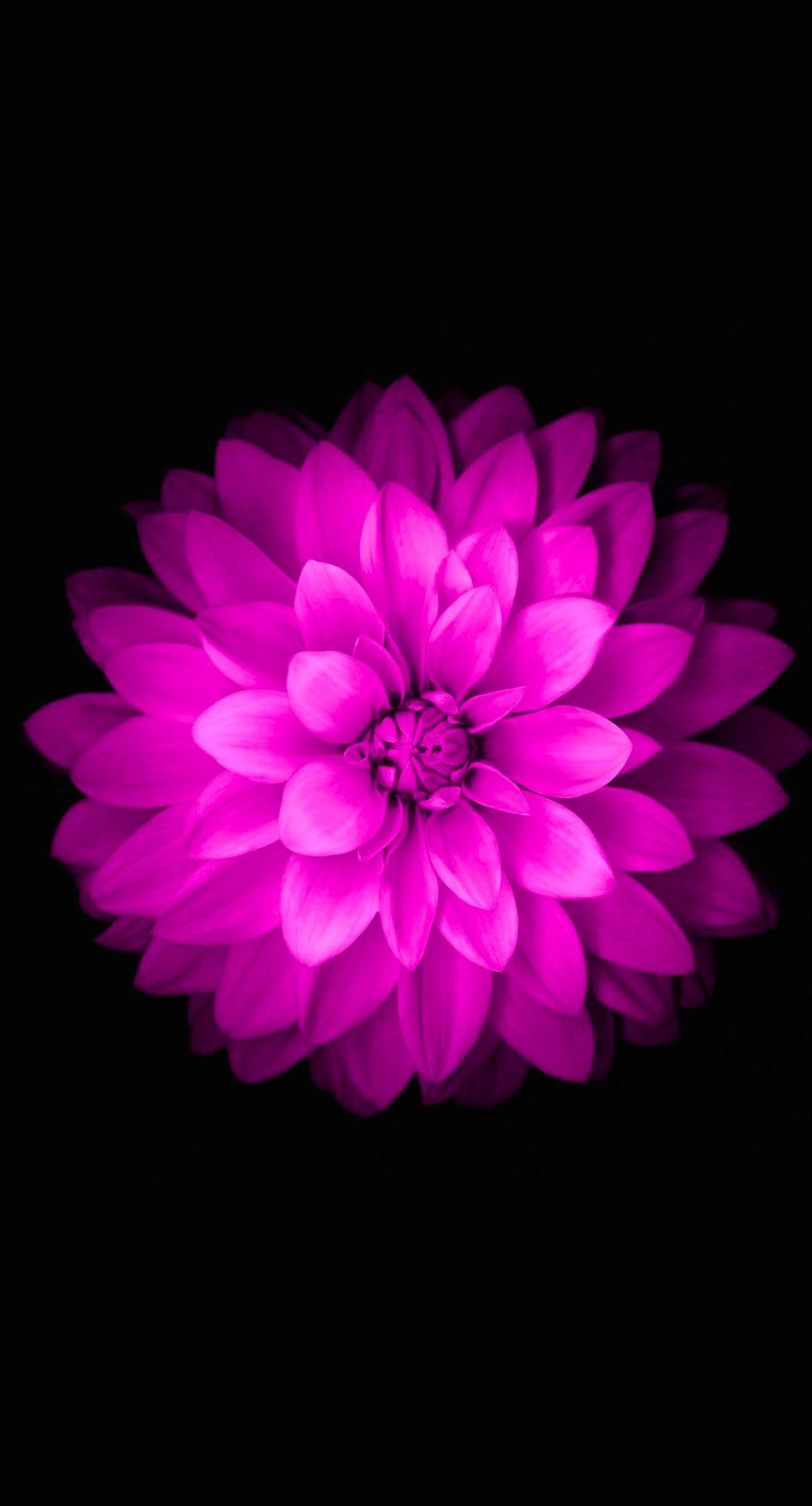 Purple Flower Wallpaper for iPhone WallpaperSafari