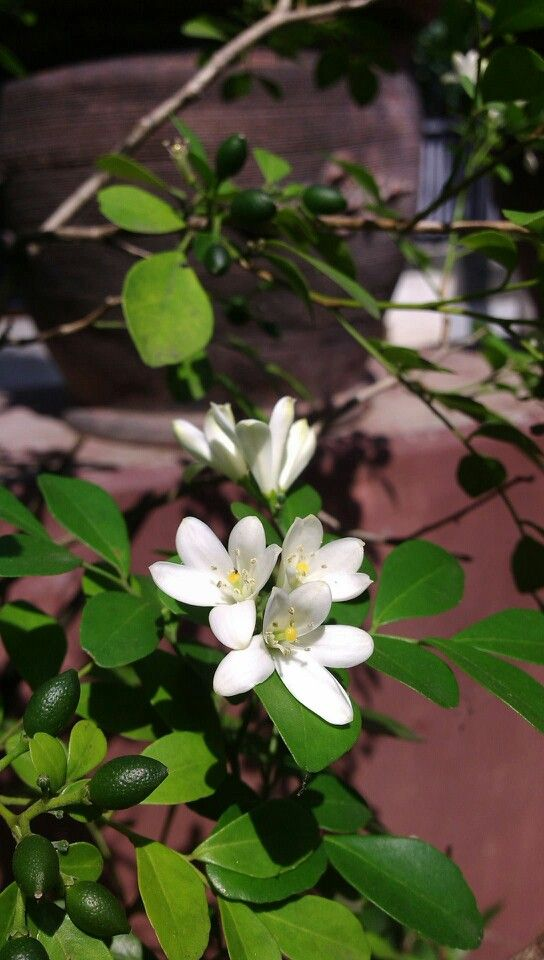 Kemuning Flower in my house yard