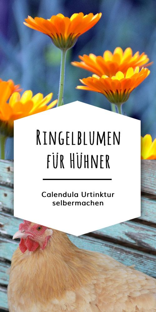 ringelblumen f r h hner calendula tinktur selbermachen kr uter salben tinkturen f r h hner. Black Bedroom Furniture Sets. Home Design Ideas