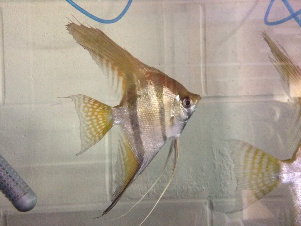 Item Fwangelfish1458878760 Rare Wc Santa Isabel Angel Ends Thu Mar 24 2016 11 06 00 Pm Cdt Santa Isabel Rare Angel Fish