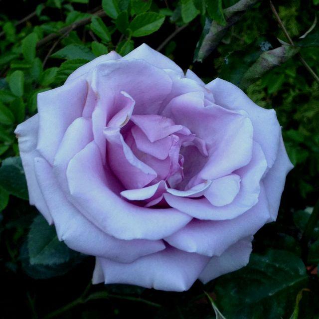 серебристые розы фото прессовом