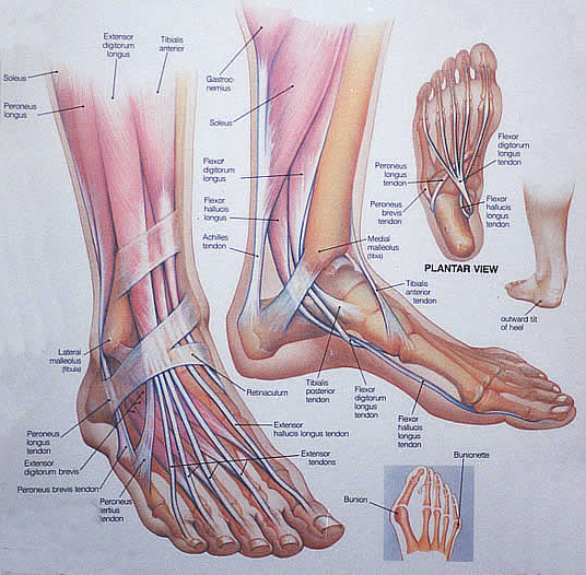 muscle anatomy | foot anatomy 300x294 tomatillo gazpacho recipe, Cephalic vein