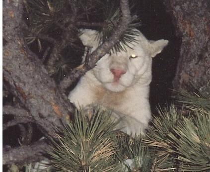 Albino cougar