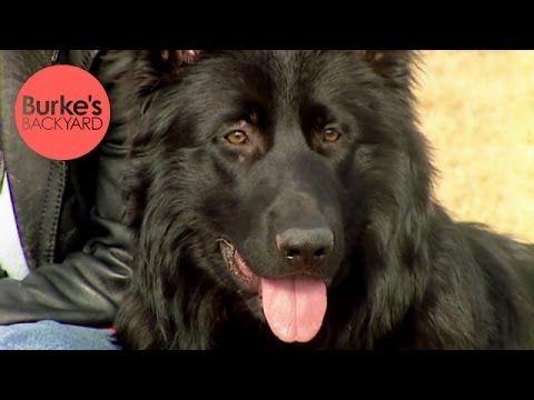 Burkes Backyard Dogs burke's backyard, black german shepherd road test - youtube | german
