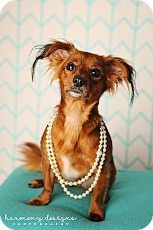 Nashville Tn Dachshund Mix Meet Matilda A Dog For Adoption