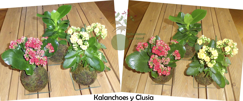 Mis nuevos fichajes: Kokedama Kalanchoe (Kalanchoe blossfeldiana) y Kokedama Clusia (Clusia rosea).