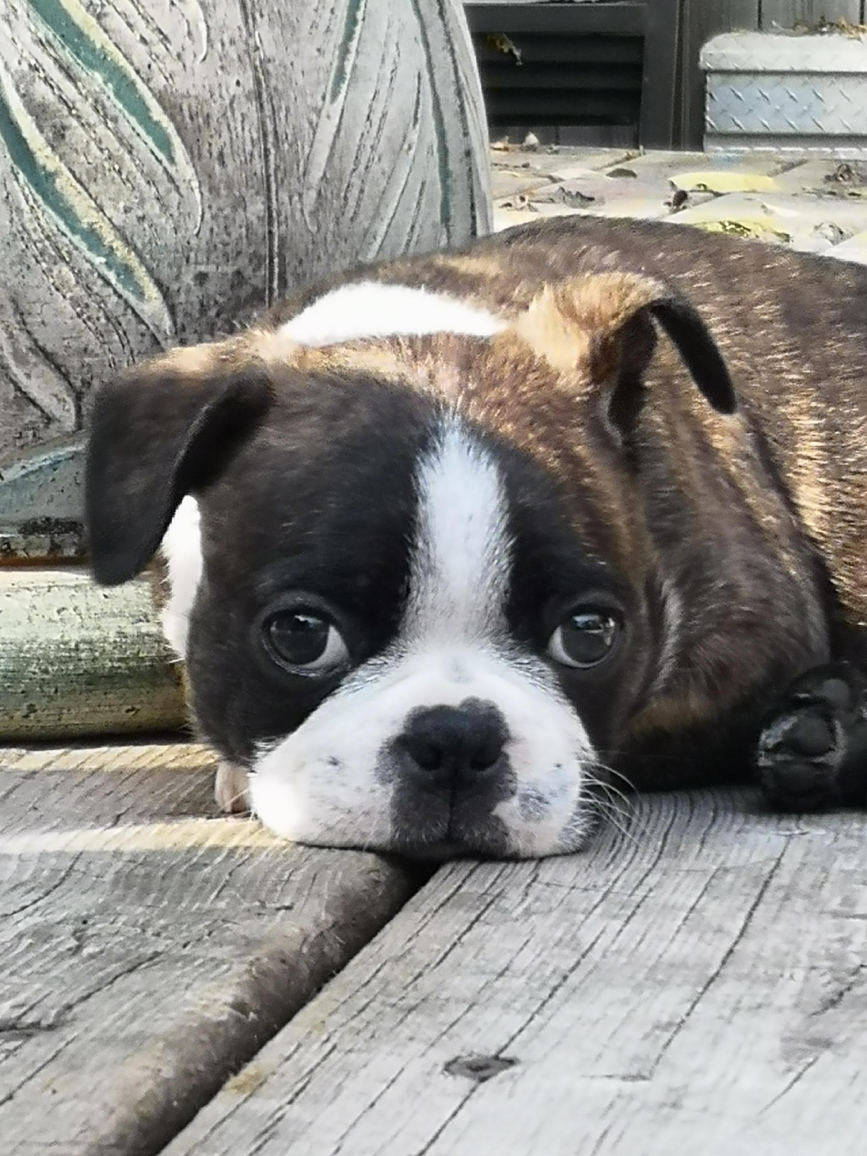 Our New Baby Bostonterrier Bostonterrierpuppy Bostondog In 2020