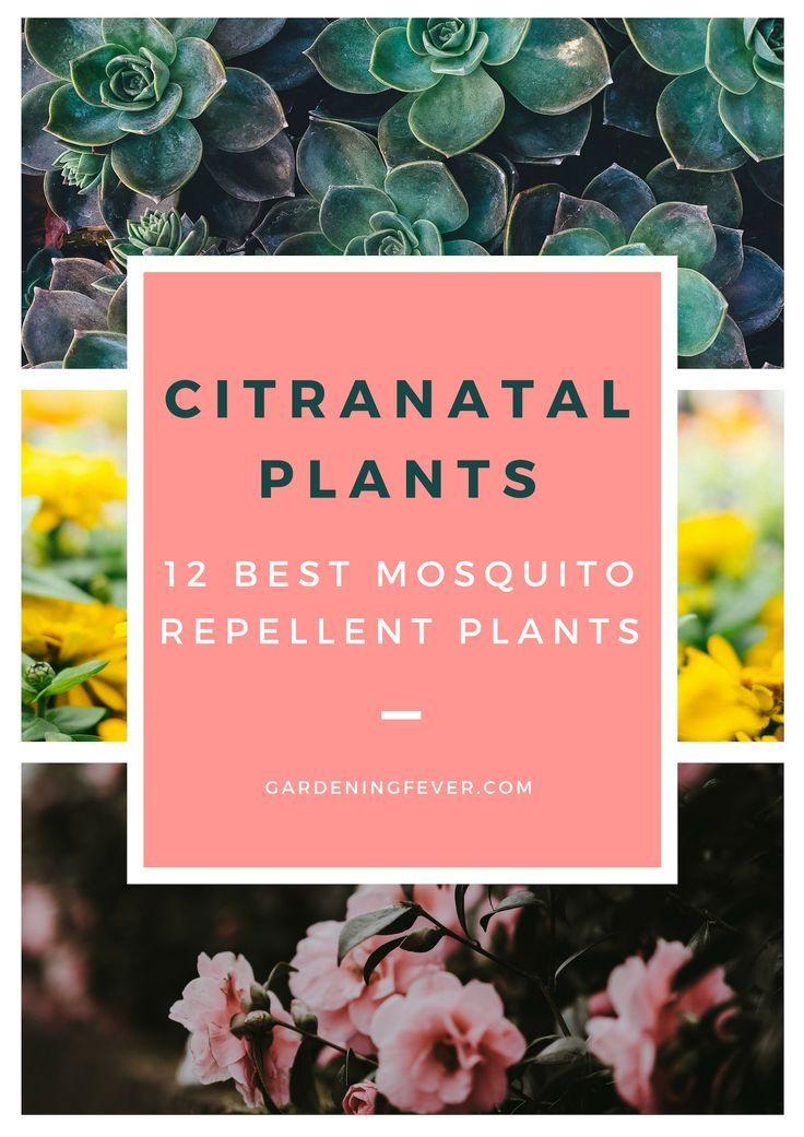 Citranatal plants 12 best mosquito repellent plants best