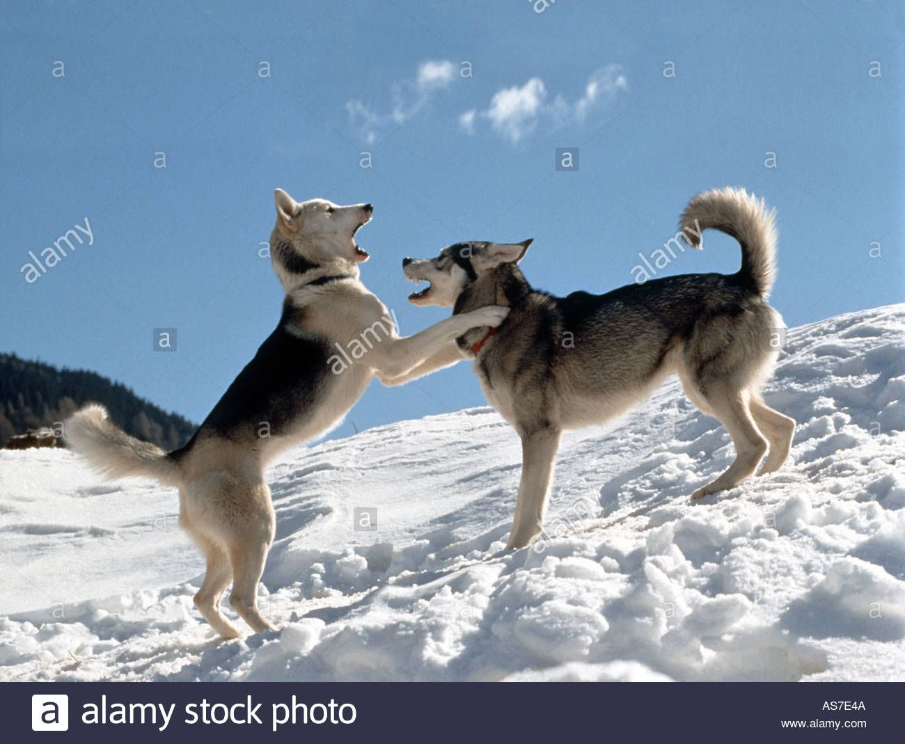 Two Siberian Huskies Playing In Snow Stock Photo Royalty Free