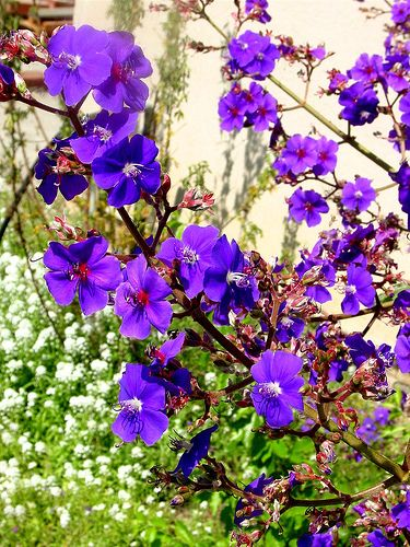 Lets be candid garden lawn and yard stuff pinterest purple purple flowering tree by my life as a reluctant housewife via flickr mightylinksfo