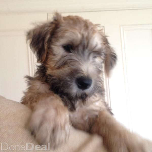 Wheaten Terrier Puppiesfor Sale In Limerick On Dogs For Sale