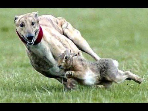 Queen Dont Stop Me Now Mix Coursing Longdogs Greys Are So Impressive Sporting Dogs Greyhound