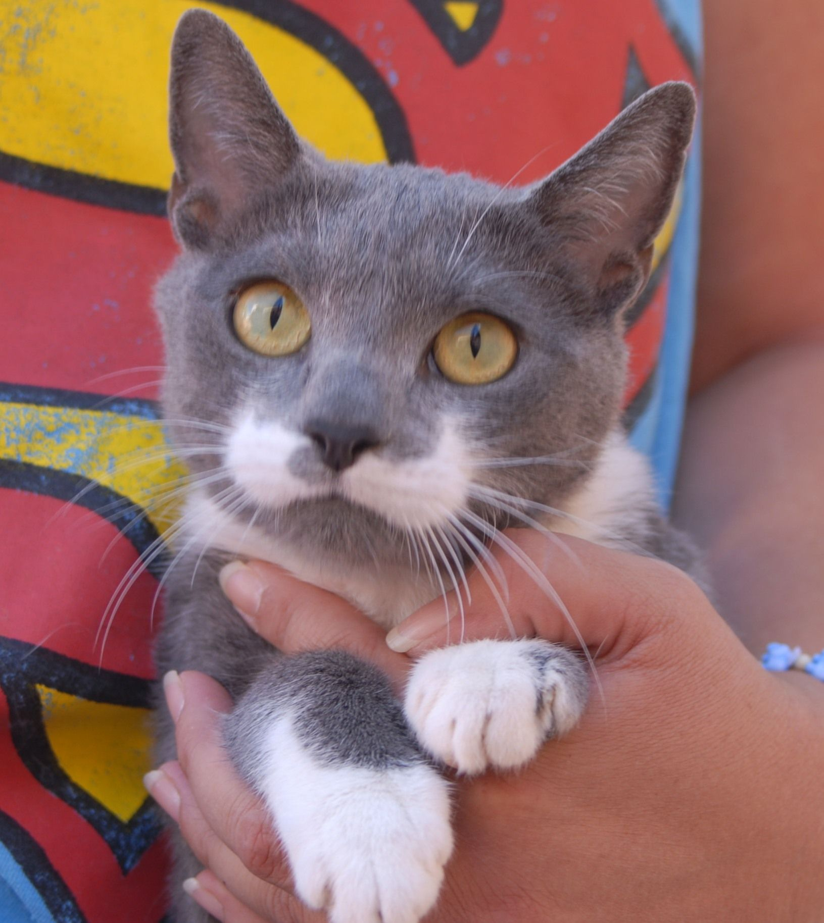 Evelyn is a chatty junior kitten ready for adoption today