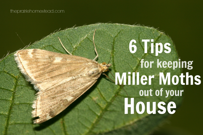 6 Ways To Keep Miller Moths Out Of Your House Moth