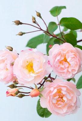 ورد روز Pretty Flowers Pictures Pretty Flowers Beautiful Flowers Garden