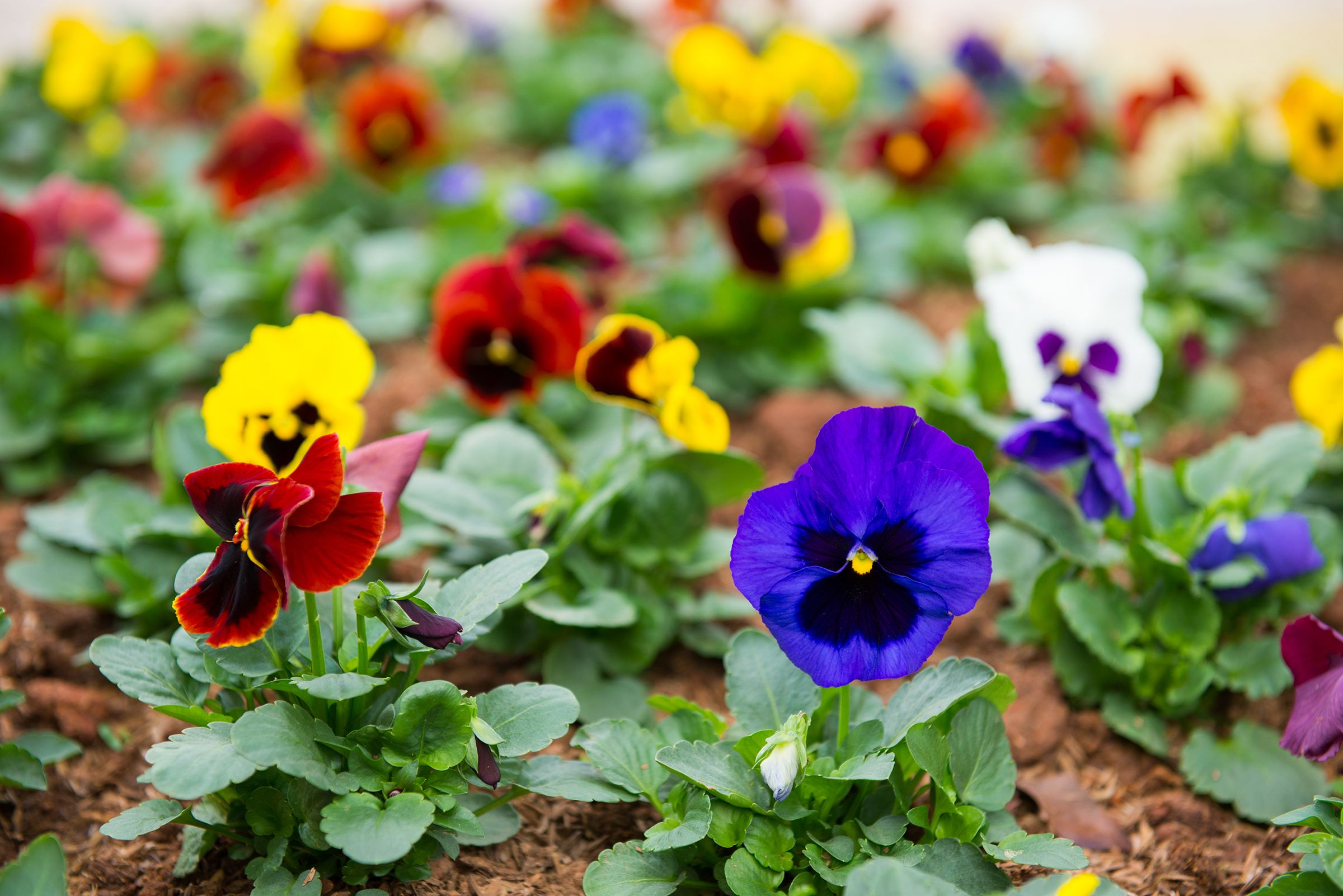 Pansies Winter Flowing Plants For The Pacific Northwest Spring Garden Flowers Pacific Northwest Garden Spring Plants