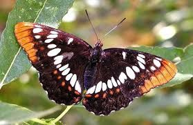 exotic butterflies of the world - Google Search