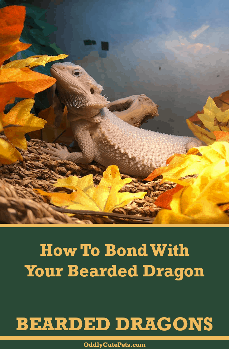 Learn How To Bond With Your Bearded Dragon With Our Guide Included Are 6 Ways Of Bonding With Bearded Dragon Cute Bearded Dragon Colors Bearded Dragon Habitat