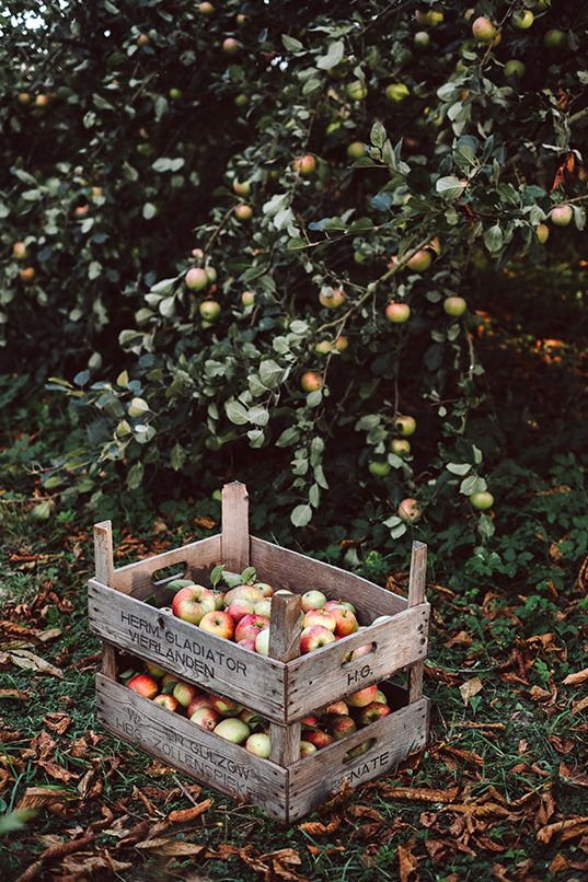 Apfel-Galette | KRAUTKOPF