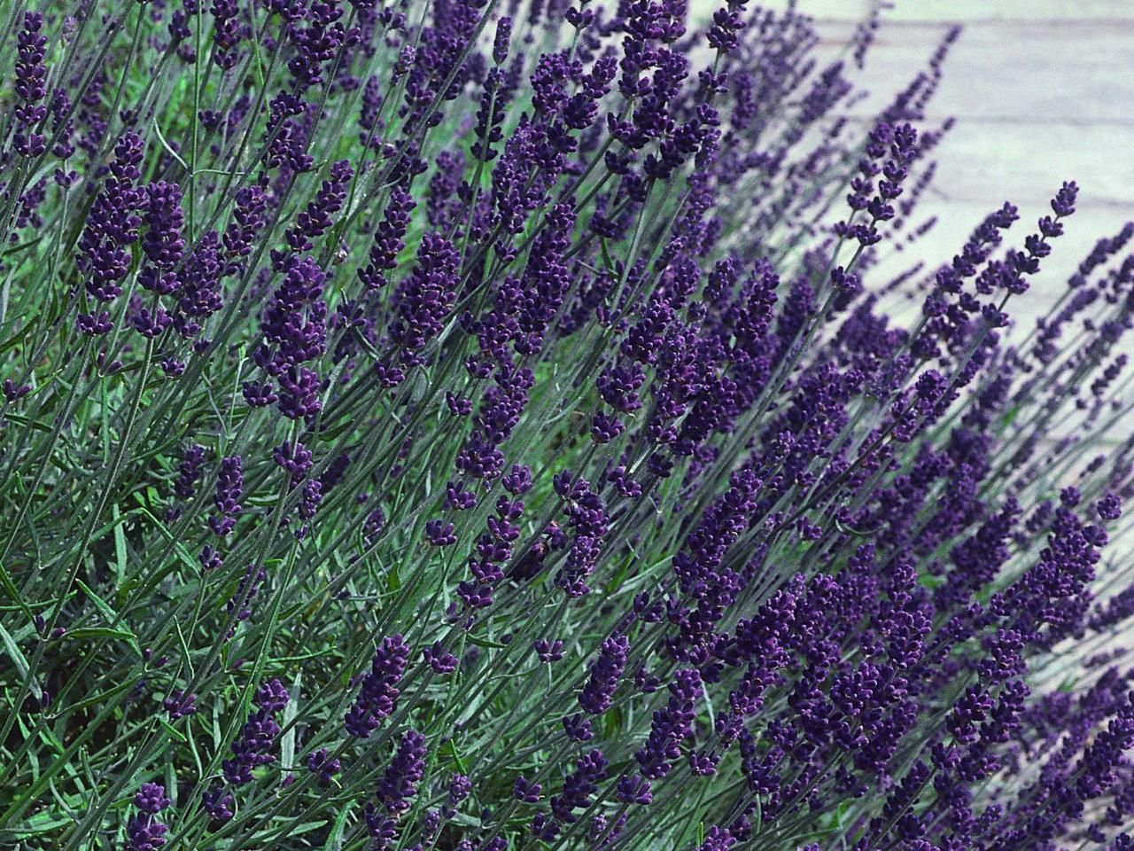 Dwarf Lavender Hidcote Produces Dark Purple Spikes