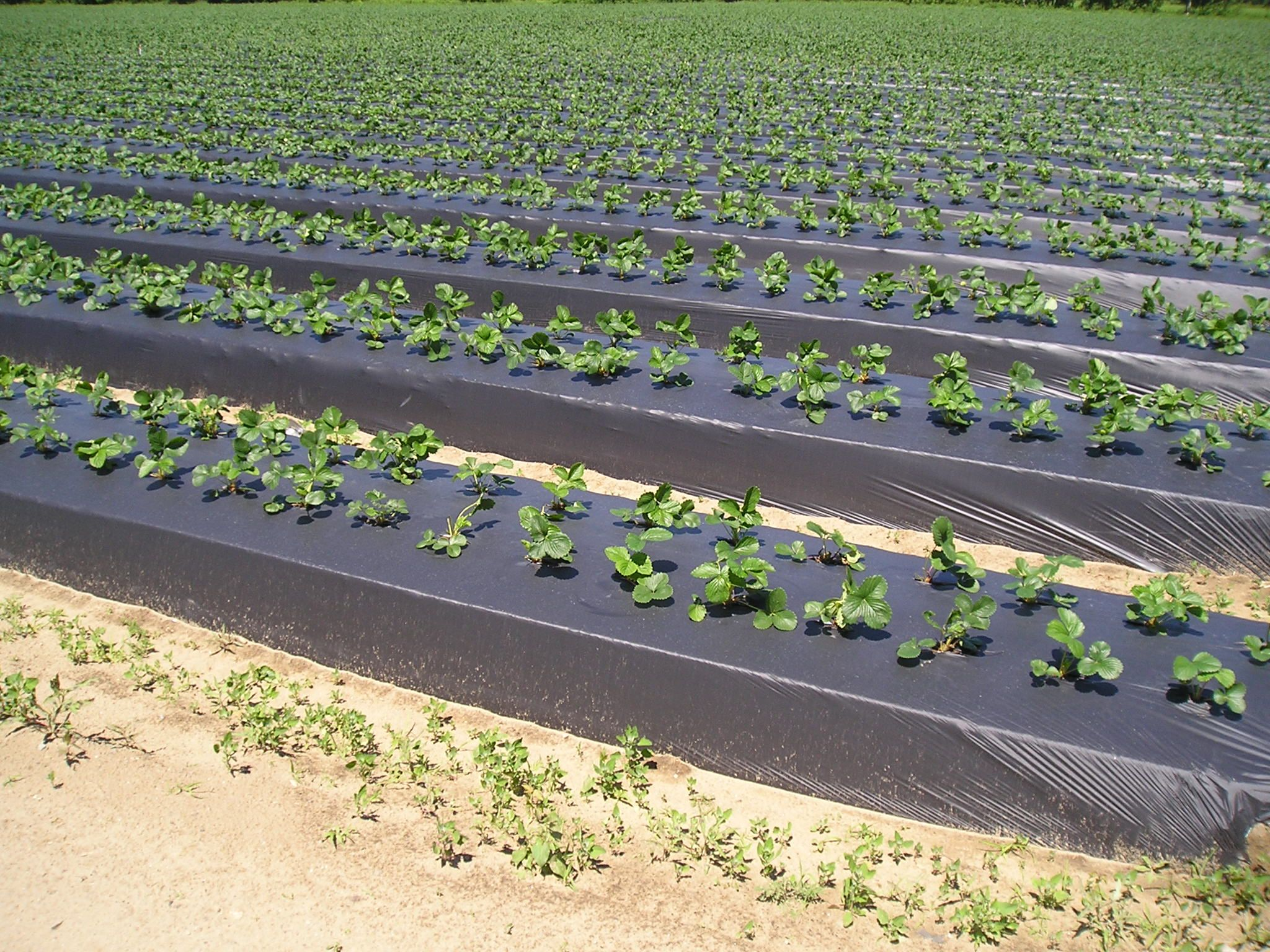 Using Plastic Mulches And Drip Irrigation For Vegetable