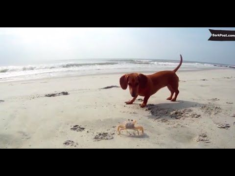 These Hilarious Dogs Aren T Super Thrilled About Meeting A Crab Daschund Puppies Dog Friends Dogs