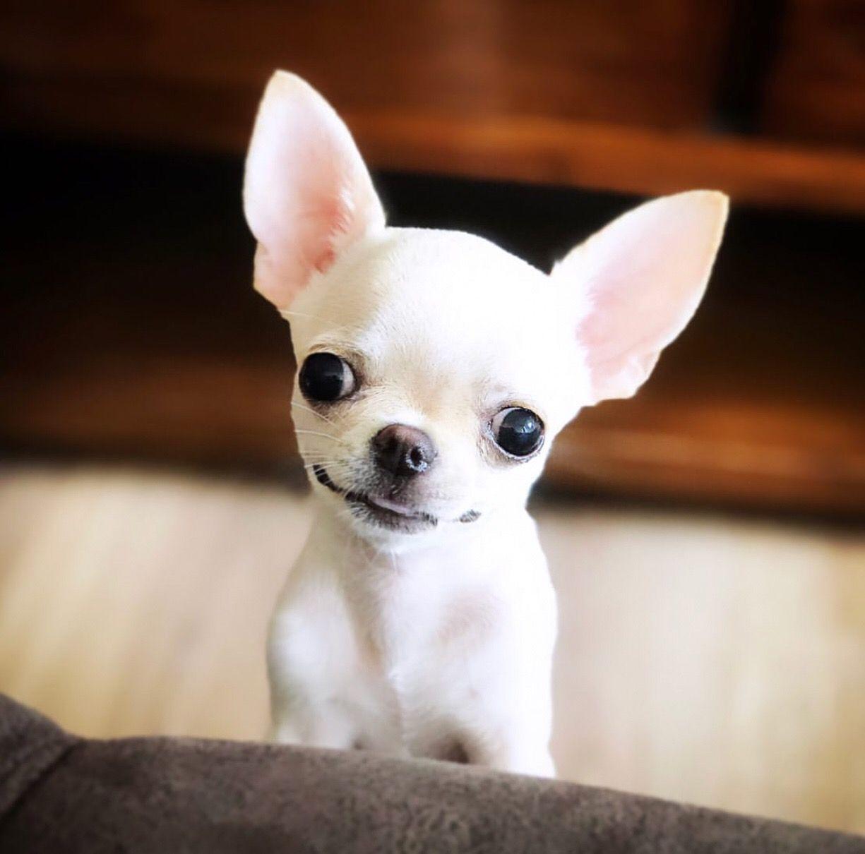 Pin By Jill Jurcago On Chihuahua Chihuahua Dogs Cute Animals