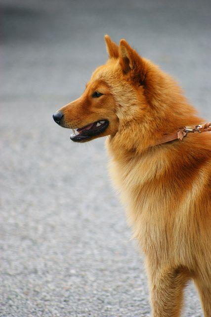 Finnish Spitz Dogs Suomenpystykorva Spitz Dogs Spitz Dog Breeds Dog Breeds