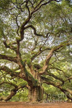 Giant Angel Oak tree on Johns Island South Carolina is said to be 1400 years old.