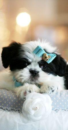 Stephen The Shih Tzu Puppy For Sale Shihtzu Dog Pet Puppy