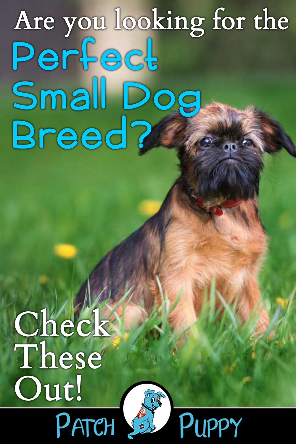 12 Dog Breeds That Are Small With Pictures Dog Breeds Small Dog Breeds Long Haired Dog Breeds
