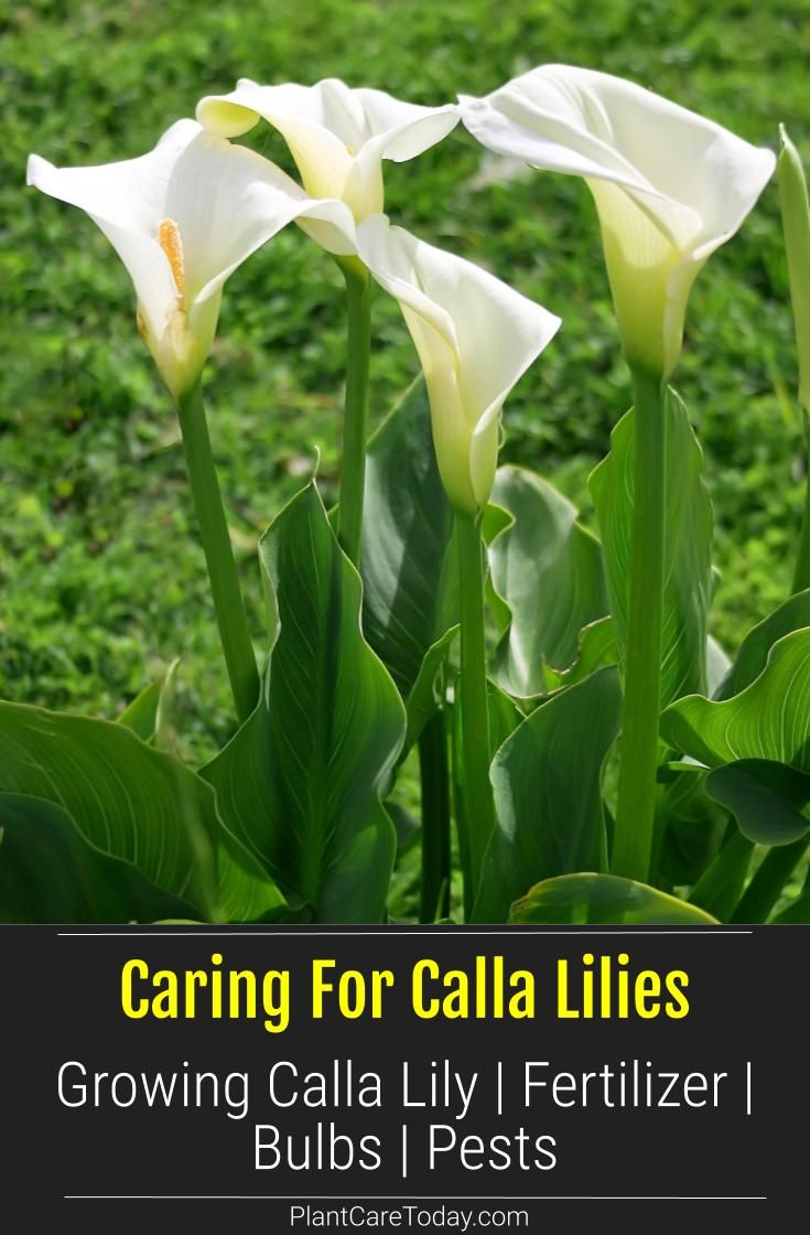 Growing Calla Lilies Tips On Calla Lily Plant Care In 2020 Lily Plants Lily Plant Care Calla Lily