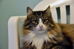 Holmes FIV Positive is an adoptable Maine Coon Cat in Duxbury, MA. Every day is KittiePawLooza Day at Standish Humane Society! For more information about Standish Humane Society and our mission, pleas...