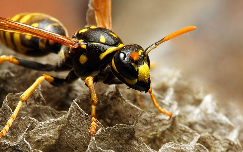 6 Nontoxic Ways to Keep Wasps Away Wasp nest, Wasp, Bee