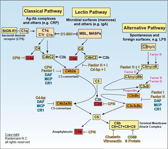 The Complement System Concept Map.The Complement System Immunology Complement System Biology