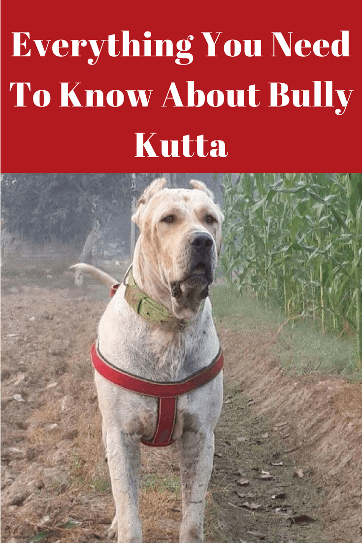Bully Kutta Dog Breed Information Behavior Price Facts And Care