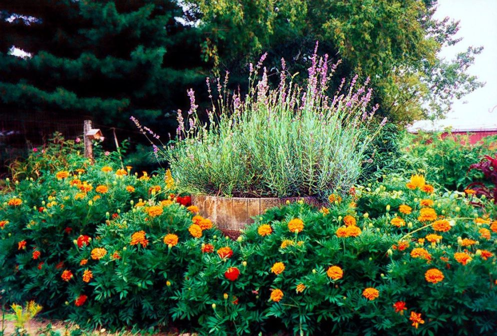 Featuring Marigolds And Lavender Front Yard Landscaping Backyard Garden Front Yard