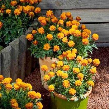 Kompakt , förgrenade plantor som blir kvävd i en mängd små blommor , var och en består av mörka brons kronblad kring en orange center . Perfekt för krukor , inomhus eller utomhus . Höjd 15 cm ( 6