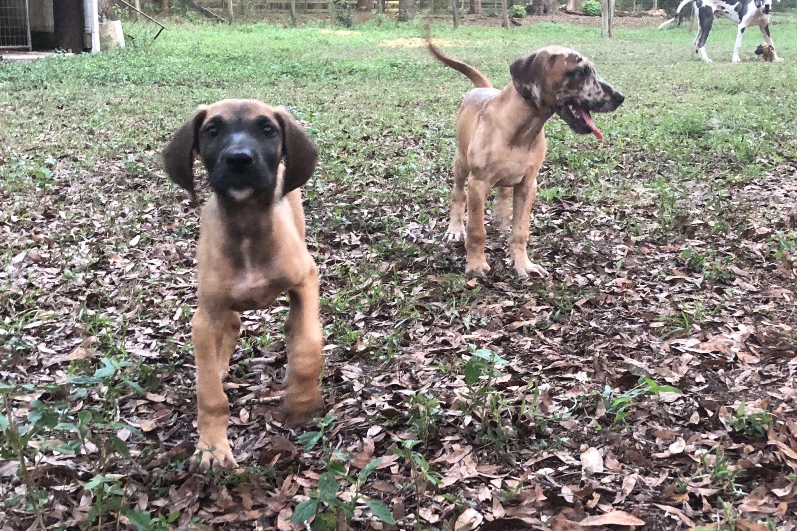 Royal Blue Great Danes Black Mamba K9 Has Great Dane Puppies For
