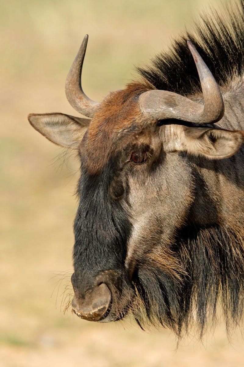 Wildebeest (Connochaetes gnou) The wildebeest is also called a gnu. It is a member of the antelope family.