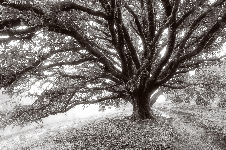 Angelic Oak