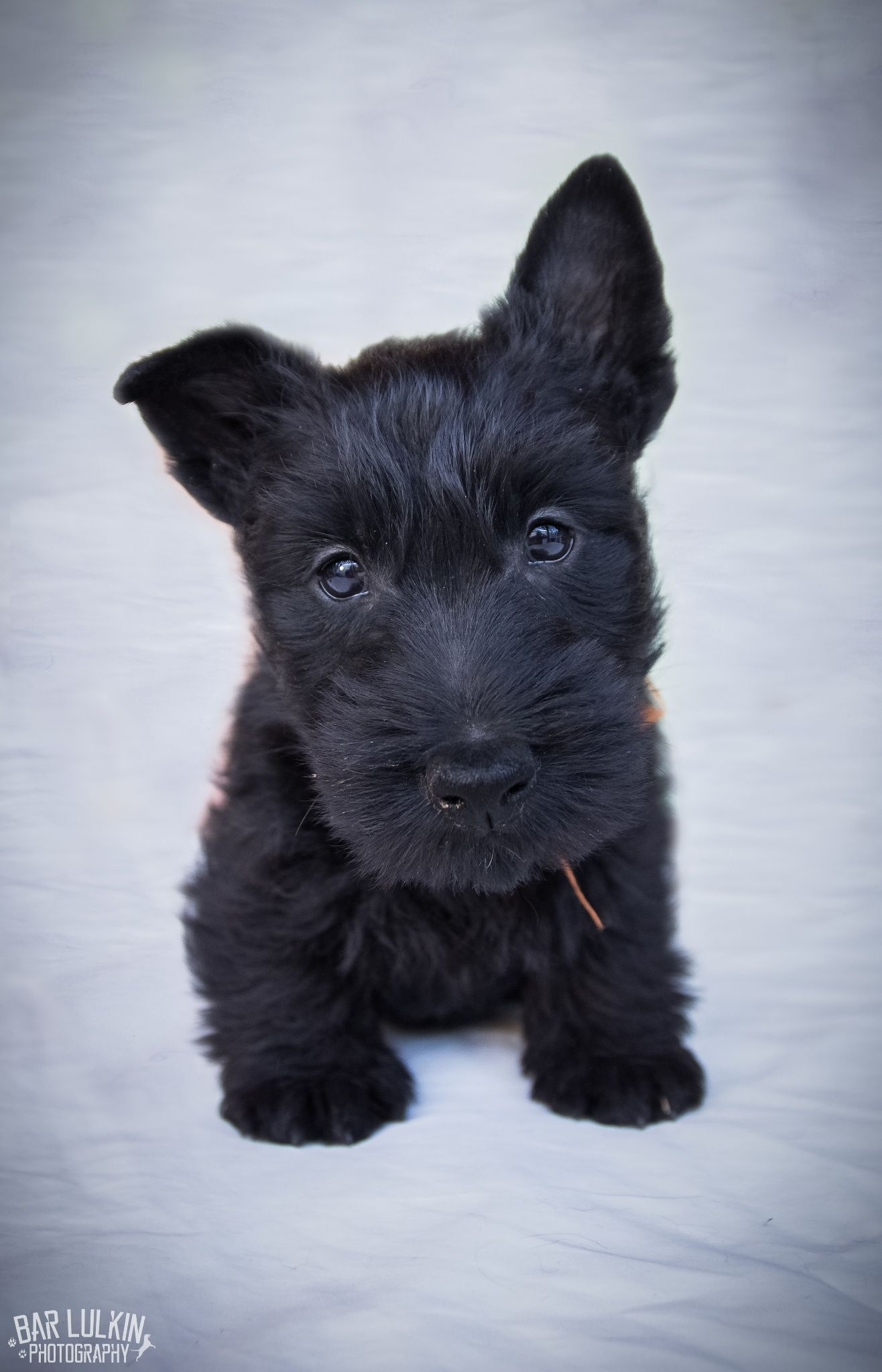 What you got there? - Scottish Terrier Puppy photo shoot