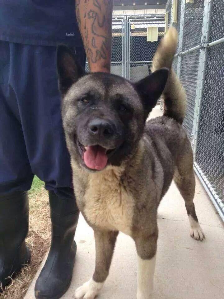 Founddog Shreveport La Female Akita Hw Rescue Only Caddo