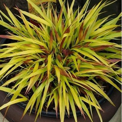 gramin e hakonechloa 39 sunflare 39 herbe japonaise les gramin es gramin es et il prend. Black Bedroom Furniture Sets. Home Design Ideas