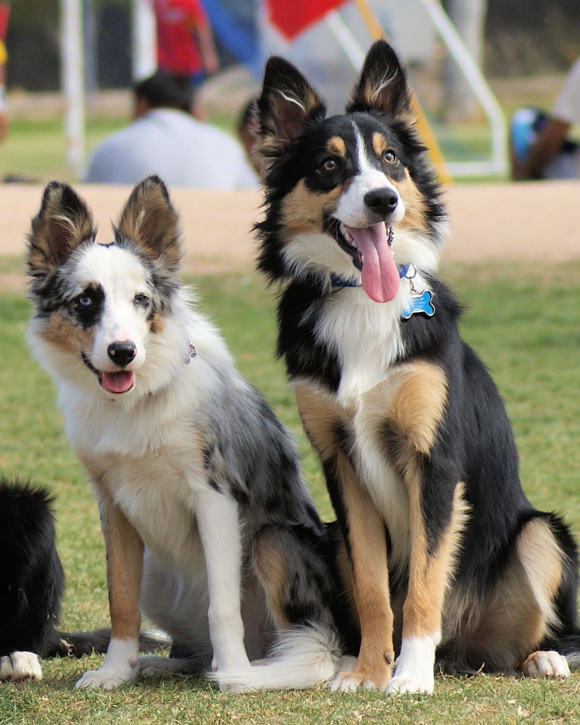 Medium Haired Border Collie Tricolor Luv Everything
