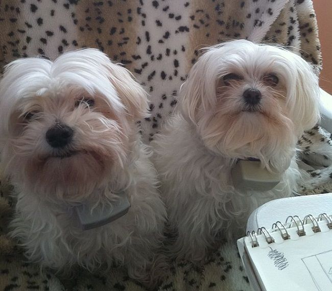 Small White Dog Breeds Gallery Maltese Dogs Dogs Dog Breeds