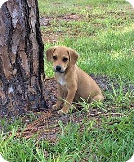 Wellington Fl Beagle Catahoula Leopard Dog Mix Meet Benji A