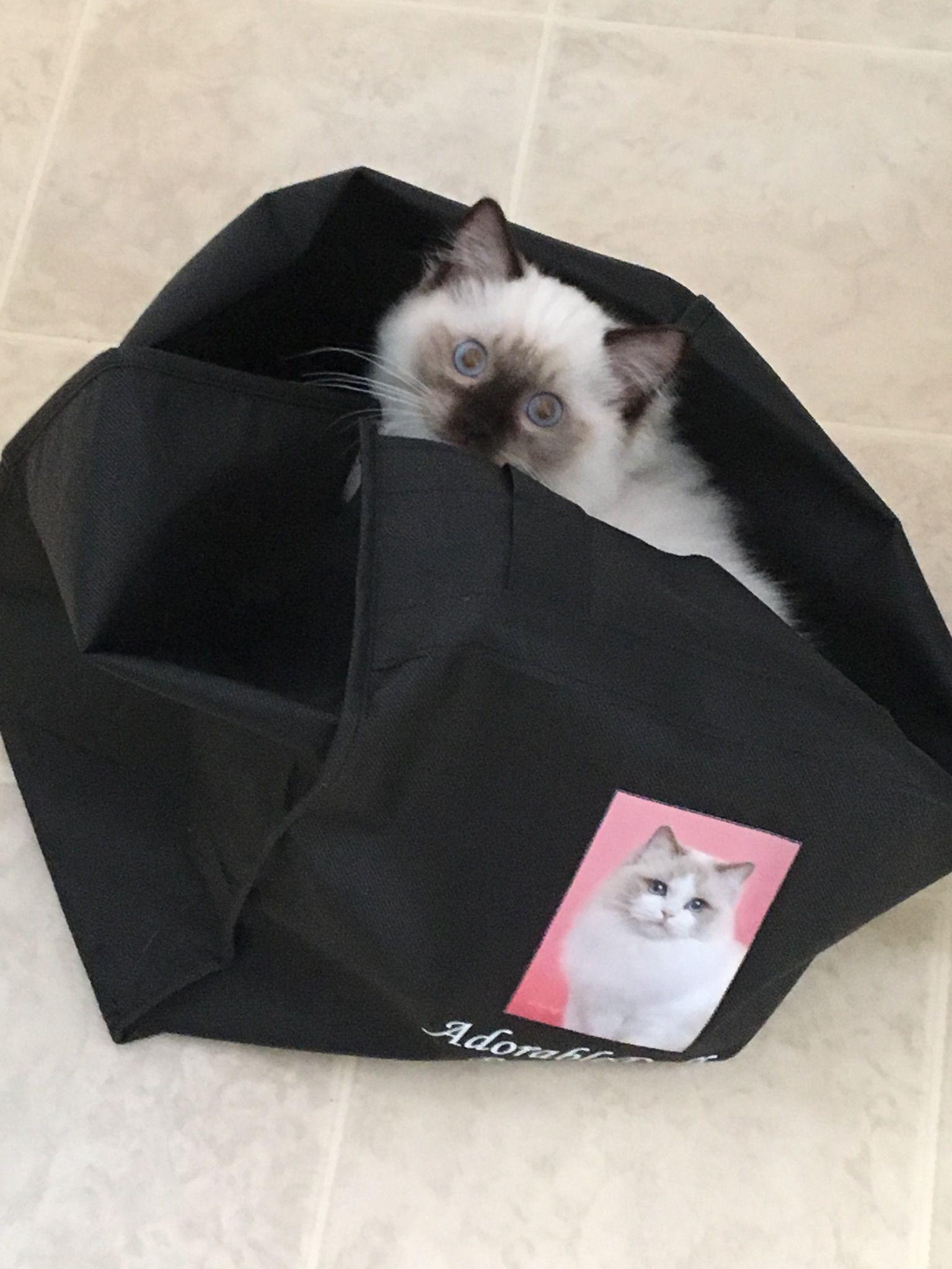 Oliver Ragdoll Kitten Of The Month Ragdoll Kitten Kittens