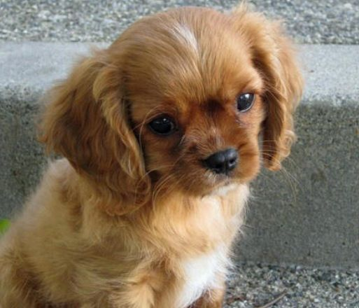 Cavalier Kingston Spaniel And Toy Poodle King Charles Cavalier Spaniel Puppy King Charles Puppy Spaniel Puppies