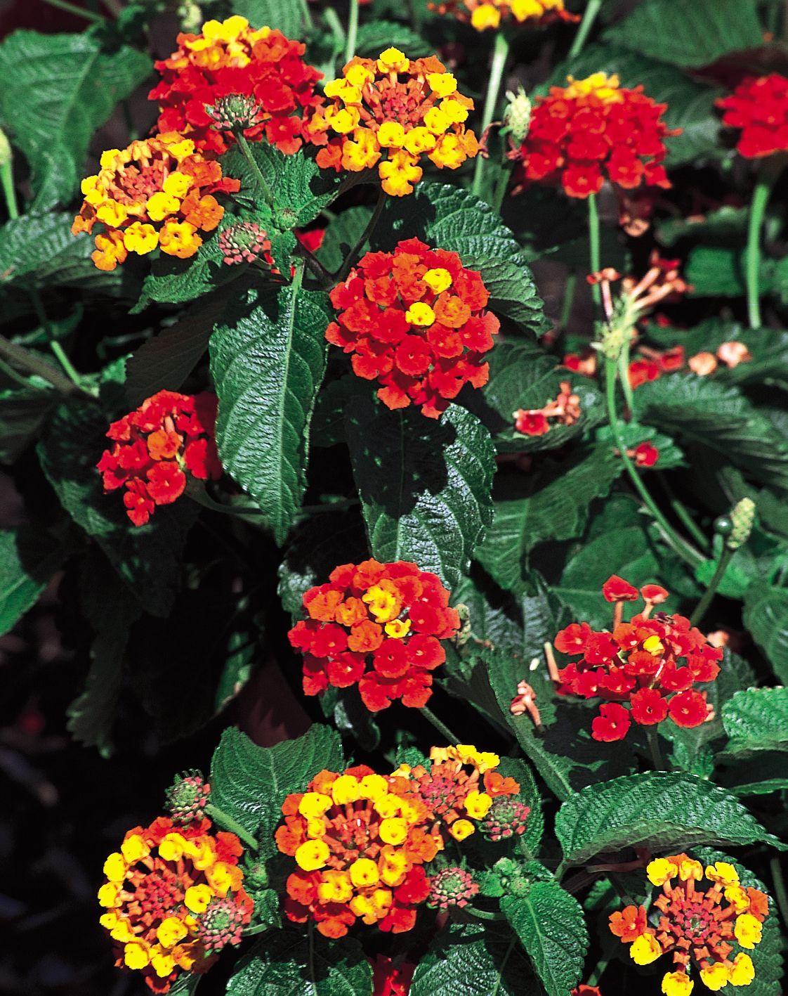 Patriot Classic Firewagon Lantana Camara Lantana Camara Lantana Plant Pretty Plants